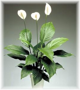 Lopatkovec Spathiphyllum