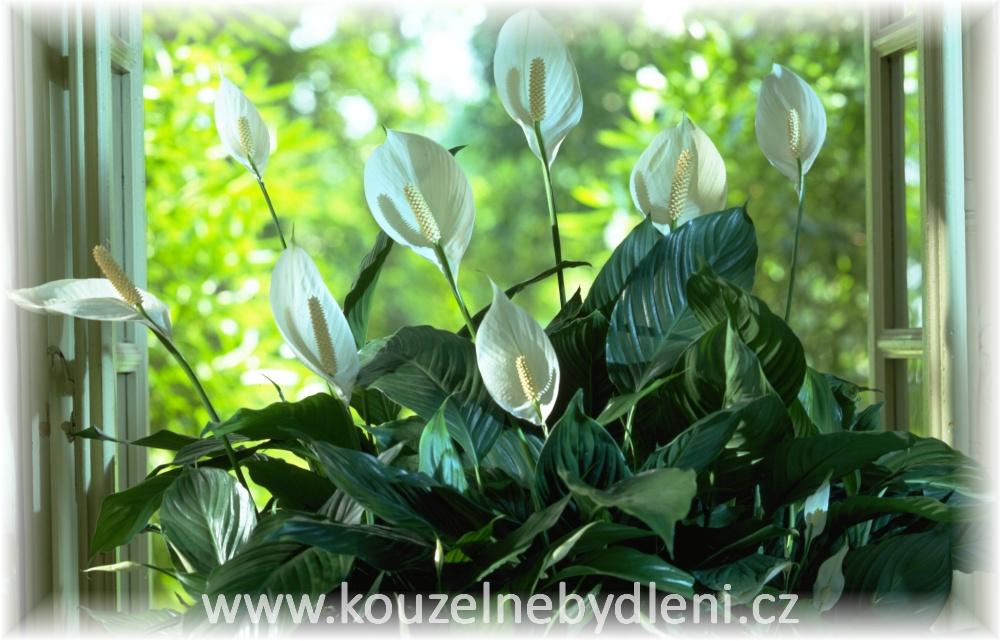 Spathiphyllum, lopatkovec