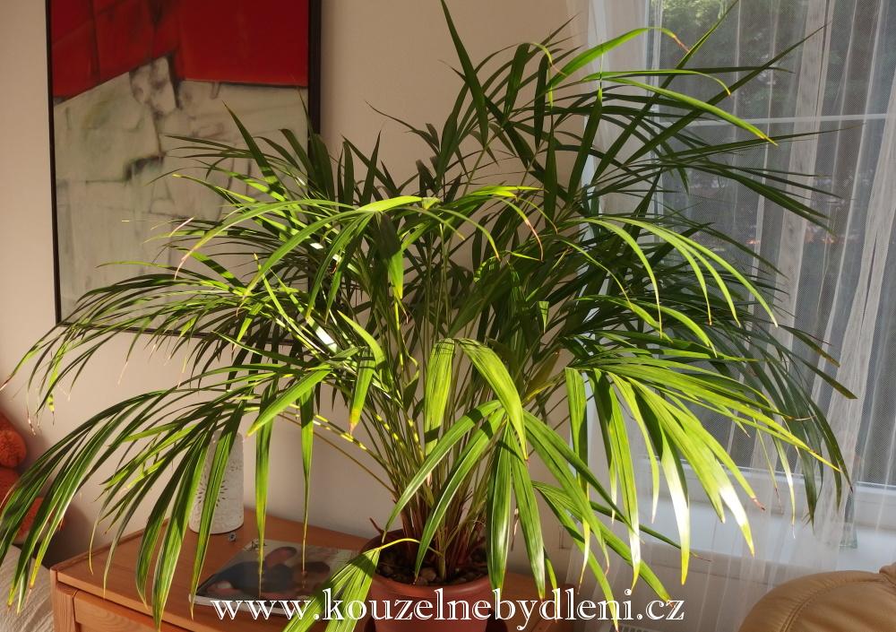 pokojový-bambus